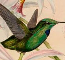 Gould bird