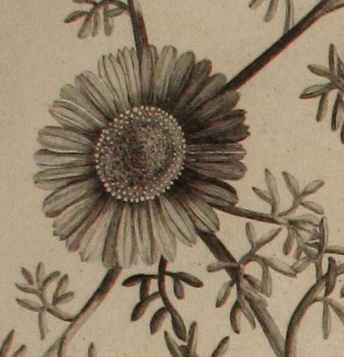 Buphthalmum (detail)