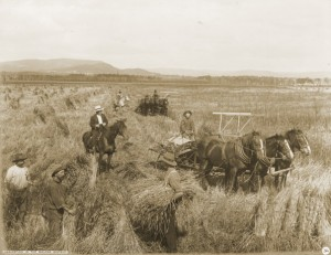 Y3086M_034 Harvesting wheat in the Molong District, Australia, 1911